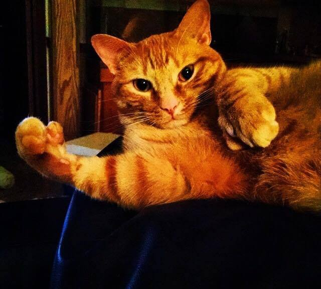 Polydactyl Cats: An Amazing Genetic Mutation - FloridaWild ...